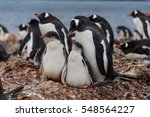 gentoo penguine with chicks in... | Shutterstock . vector #548564227