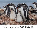 gentoo penguine with chicks in... | Shutterstock . vector #548564491