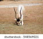 Addax  Addax Nasomaculatus   A...