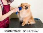 Stock photo cute dog pomeranian sits on the table while being brushed by a professional groomer woman 548571067