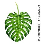 big realistic leaf of monstera. ... | Shutterstock . vector #548602105