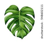 Green Monstera Leaf. Tropical...