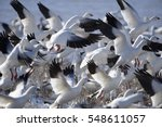 Snow Geese Taking Off In Flight