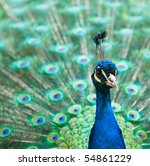 Beautiful Male Peacock With...