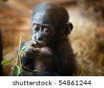 Stock photo cute baby bonobo monkey pan paniscus 54861244