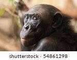 Portrait Of A  Bonobo Monkey ...