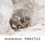 Small photo of Chukar Partridge( Alectoris Chukar) Al Areen Wild life park Bahrain