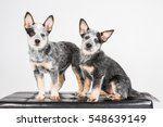Stock photo australian cattle dog acd puppy dog 548639149