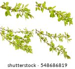 Apple Tree Branch With Green...