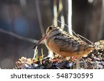 Small photo of American woodcock standing in the Adirondack Mountains forest.