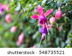 Fuchsia Flower On Nature...