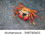 A Sally Lightfoot Crab  Grapsu...