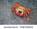 A Sally Lightfoot Crab  Grapsu...