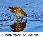 Common Moorhen  Gallinula...
