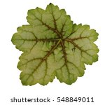 Small photo of Heuchera 'Master Painters Van Gogh' (coral bells, alumroot) leaf isolated on white background.