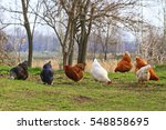 colorful chickens on natural... | Shutterstock . vector #548858695