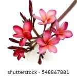 Beautiful Red Plumeria Rubra...