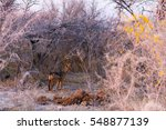 spotted hyena standing in the... | Shutterstock . vector #548877139