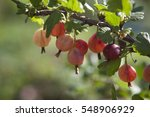 Fresh Rose Gooseberries On A...