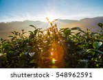 sunrise over tea plantations...   Shutterstock . vector #548962591