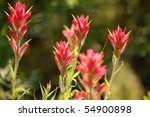 Group of Indian Paintbrush in a Meadow - stock photo