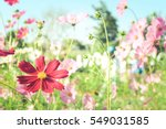 Cosmos Flowers With Soft...