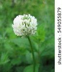 Trifolium Repens Shamrock Whit...