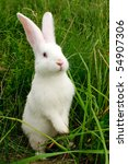 Stock photo cute white rabbit standing on hind legs 54907306