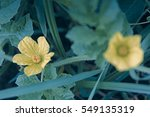 Small photo of Flowers of Wild Melon, Cucumis melo ssp. agrestis