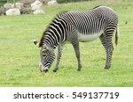 A Grevy's Zebra Grazes