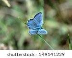 Small photo of Plebeius amandus, blue butterfly