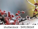 Red Holly Berries On Branches...