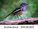 oriental magpie robin  bird in... | Shutterstock . vector #549181801
