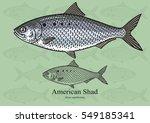 american  atlantic  shad.... | Shutterstock .eps vector #549185341