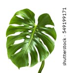 leaf of monstera plant. | Shutterstock . vector #549199171