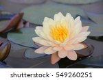 lotus flower white yellow | Shutterstock . vector #549260251