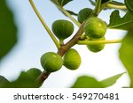 Green Raw Figs On The Branch O...