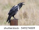 A Pied Crow Perched On A Woode...