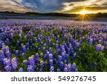texas bluebonnet field at... | Shutterstock . vector #549276745