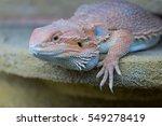 Beard Dragon Lizard On A Yello...