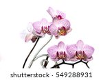 Orchid Flowering Isolated On...