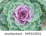 Flowering Cabbages  Closeup  ...