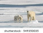 Polar Bear Mother  Ursus...