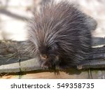 the north american porcupine ... | Shutterstock . vector #549358735