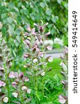 Small photo of Acanthus spinosus closeup, landscape design