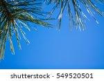 japanese garden bonsai and blue ... | Shutterstock . vector #549520501