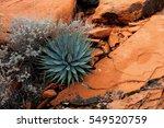 Red Canyon Aloe  Nevada