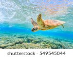 Stock photo a turtle diving back to the reef in a shallow lagoon on lady elliot island 549545044