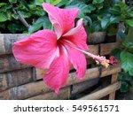 Vivid Pink Hibicus Is Blooming...
