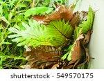 Small photo of Polypodiaceae Aglaomorpha coronans, Tropical ferns plant.